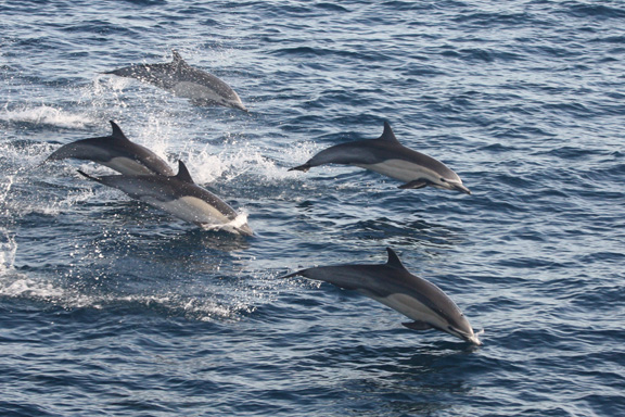 Dolphins Off the Coast of San Diego